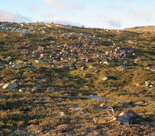 More Than 300 Reindeer Killed By Lightning: Here's Why