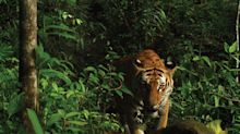 Rare Indochinese Tiger Population Discovered in Eastern Thailand