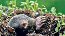 How to deal with moles in your garden (no whacking required)
