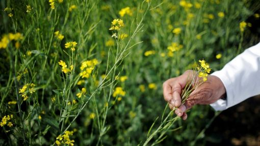 GM mustard clears hurdle in India but more remain