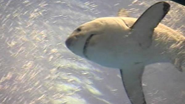 Calif. to consider listing great white sharks