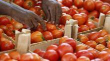 """Virus de la tomate: """"très forte suspicion"""" dans une exploitation du Finistère"""
