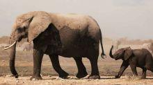 Desconcierto: continúa la muerte masiva de elefantes en África