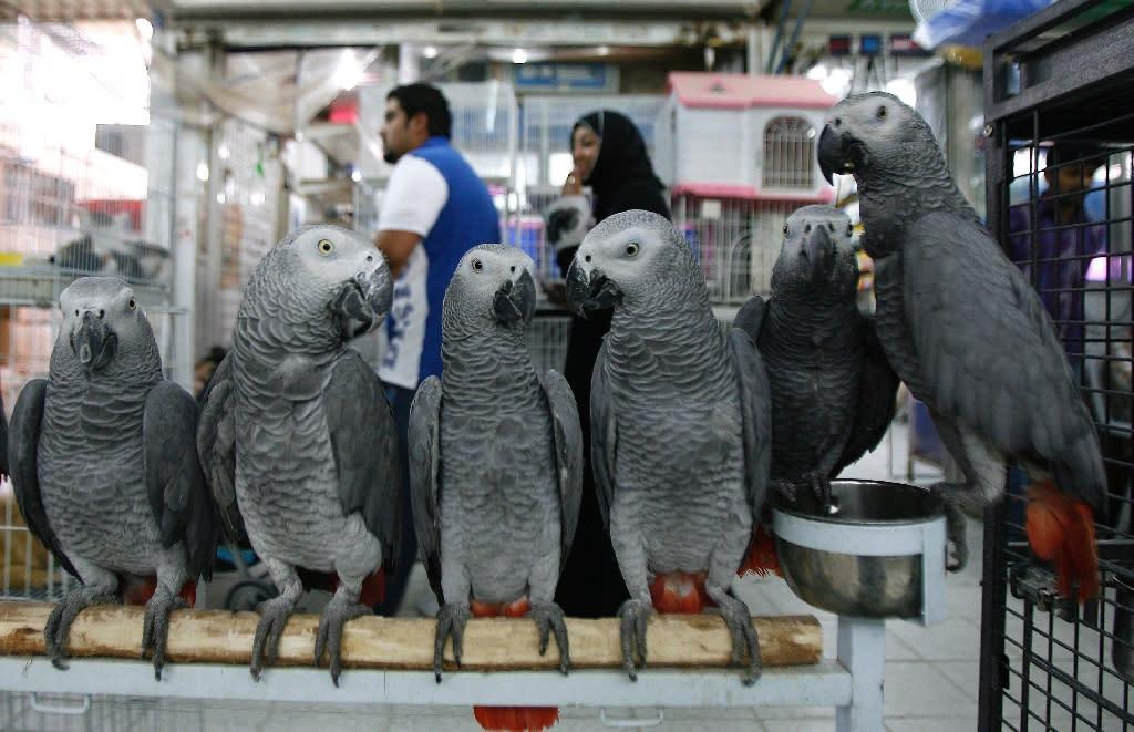 African Grey parrots on sale at a bird market in Kuwait City (AFP Photo/Yasser al-Zayyat)