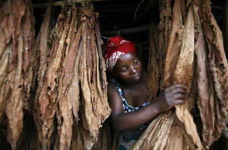 Christina Kauwa works on her barley tobacco in Chalenga village