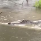 Alligator Spotted in Overflowing Naples Waterway During Tropical Storm Sally