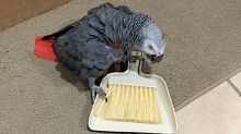 Ferocious parrot battles with a whisk broom