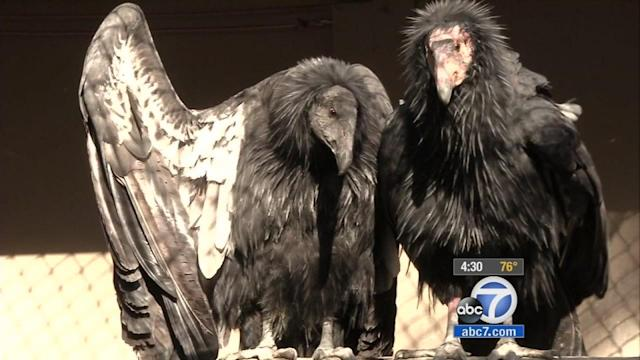 Los Angeles Zoo treats 21 California condors for lead poisoning