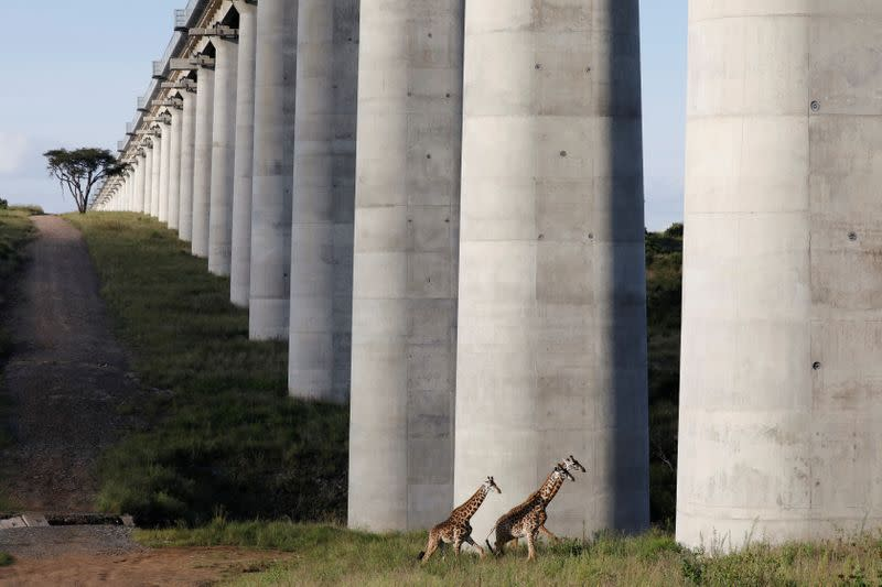 Giraffes cross under a bridge of the Standard Gauge Railway (SGR) line, inside the Nairobi National Park in Kenya