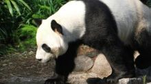 Coronavirus could starve Canada zoo's pandas as bamboo supply chain snaps