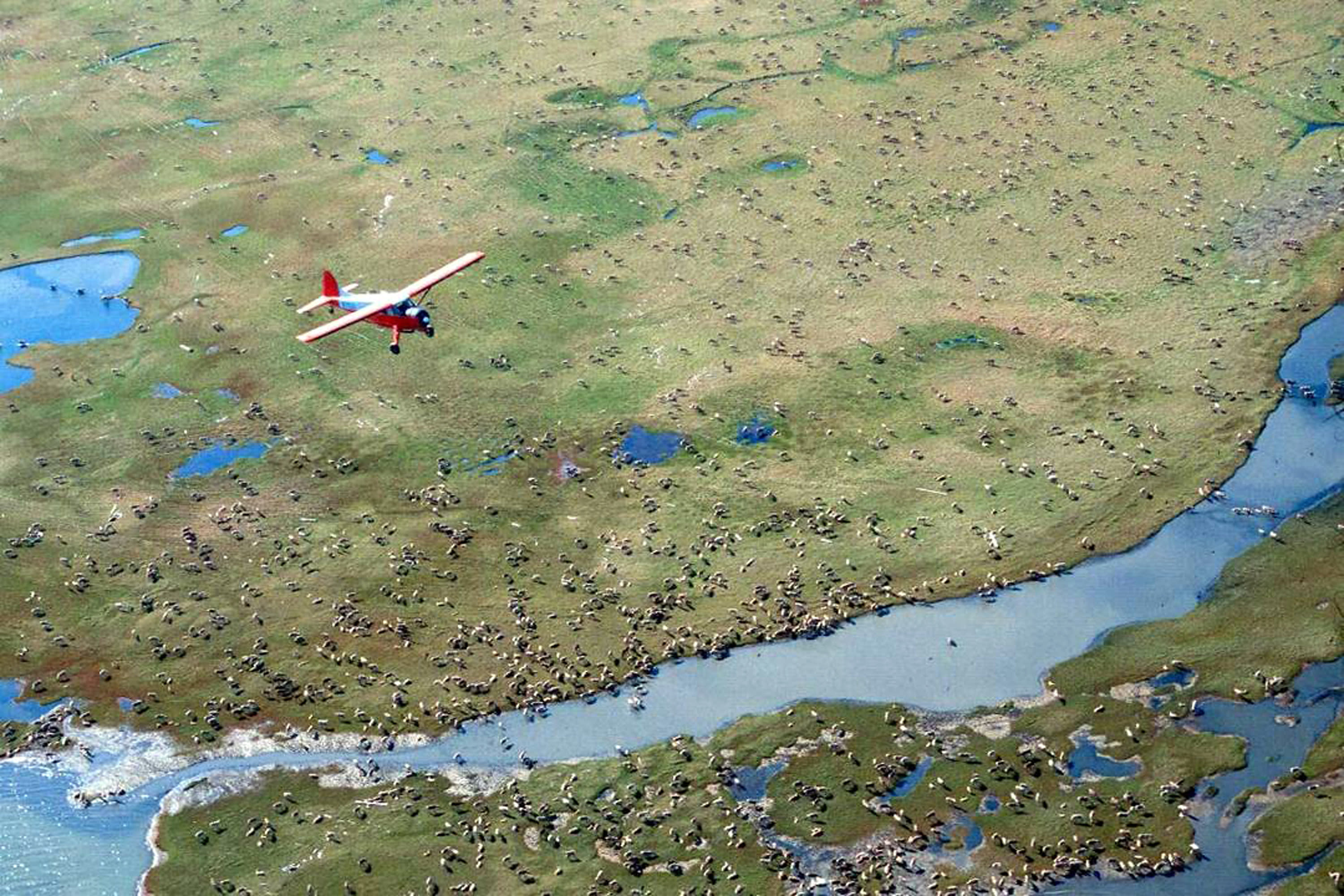 FILE - In this undated file photo provided by the U.S. Fish and Wildlife Service, an airplane flies over caribou from the Porcupine Caribou Herd on the coastal plain of the Arctic National Wildlife Refuge in northeast Alaska. Environmental groups wasted no time challenging the Trump administration's attempt to open part of an Alaska refuge where polar bears and caribou roam free to oil and gas drilling. (U.S. Fish and Wildlife Service via AP, File)