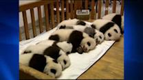 China shows up panda cubs born in captivity