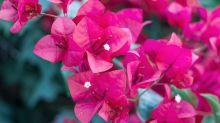 Bugambilia, cempasúchil y dalia: los beneficios de estas flores para tu salud y belleza