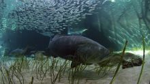 Florida weighs allowing limited harvest of goliath grouper