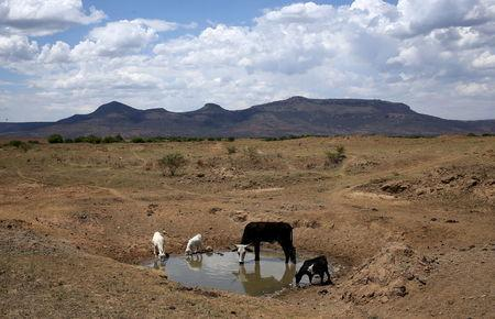 Livestock drink from a drying river outside Utrecht, a small town in the northwest of KwaZulu-Natal