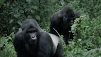 Gorillas Battle to Rule 'Kingdom of the Apes'