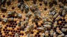 80.000 Bienen in Schlafzimmerwand entdeckt