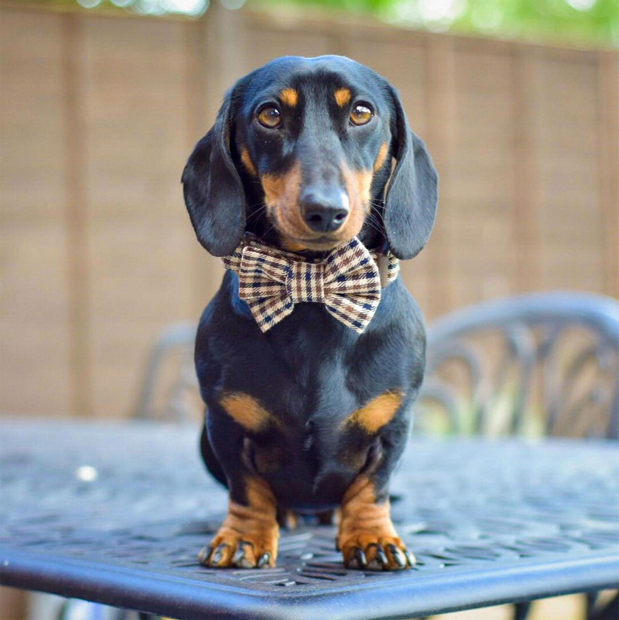 sno-free-pictures-of-a-black-mini-dachshund-gitl