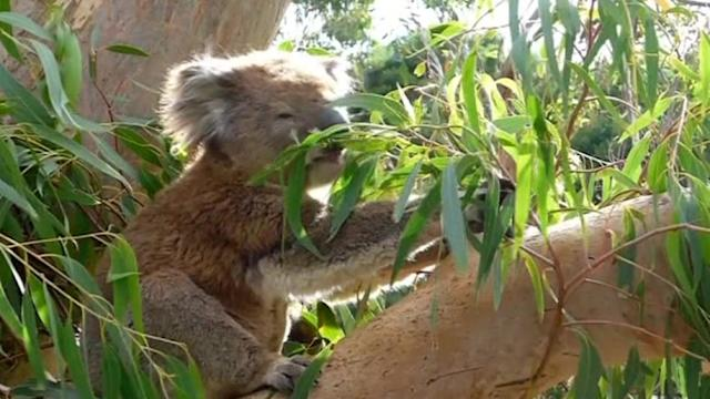 Eucalyptus study could be key to koala survival, says researcher