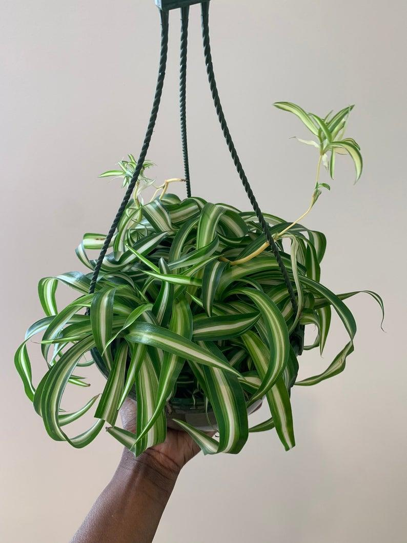 """<p>Spider plants are gorgeous, sprawling greens that clean the air <em>and</em> are <a href=""""https://www.architecturaldigest.com/story/pet-friendly-houseplants?mbid=synd_yahoo_rss"""" rel=""""nofollow noopener"""" target=""""_blank"""" data-ylk=""""slk:pet-friendly"""" class=""""link rapid-noclick-resp"""">pet-friendly</a>! NASA's study found that spider plants were able to remove 95% of chemicals from the air in 24 hours.</p> <p>Spider plants filter toxins including:</p> <p>- carbon monoxide </p> <p>- benzene</p> <p>- styrene</p> <p>- formaldehyde</p> <p>- xylene</p> <p> - toluene</p>   $55, Etsy. <a href=""""https://www.etsy.com/listing/832560179/bonnie-curly-spider-plant"""" rel=""""nofollow noopener"""" target=""""_blank"""" data-ylk=""""slk:Get it now!"""" class=""""link rapid-noclick-resp"""">Get it now!</a>"""