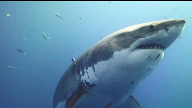 Research Focuses On Great White Habits Along Coast