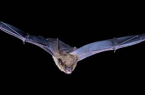 Album of inaudible animal sounds puts you inside the head of a bat