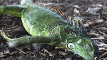 Cold-stunned iguanas falling from trees in Florida