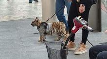 El tigre en Antara: la polémica por la mujer que pasea con un cachorro de tigre en un centro comercial en México
