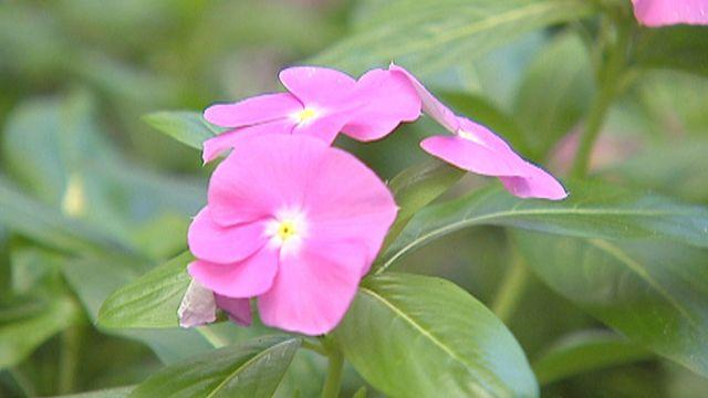 Common plant fights cancer