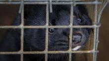 Danes start culling 2.5 million minks after virus hits farms