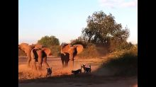 Elephants confront pack of wild dogs