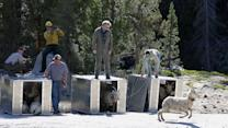 Endangered Big Horn Sheep Restored to National Parks