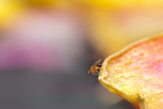 Aber Wie Wird Man Unliebsamen Tiere Am Besten Los Reifes Obst übt Auf Fruchtfliegen Eine Magische Anziehungskraft Aus Bild Thinkstock