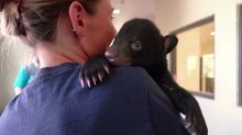 Orphaned bear cub found in forest recovering at U.S. zoo