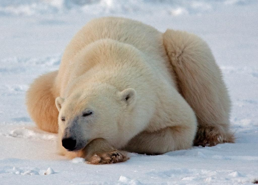 polar bear threatened or not essay The polar bear (ursus maritimus) is the polar bear essay examples the american black bear is considered a threatened species in some areas.