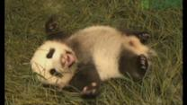 Competition to name cute panda cub in Taiwan