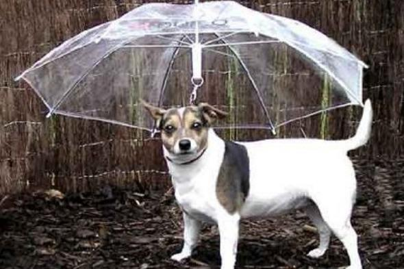 """<p>You might have thought that dogs are capable of getting wet and just shaking it off, but if you're worried that your pampered pooch is suffering, you can invest in a dog umbrella.</p>  <p>These are held by the owner, with an upside-down shade to hold over your dog in inclement weather. These bargains are available for $8.99 on <a href=""""http://www.amazon.com/Umbrella-Keeps-your-Comfortable-Rain/dp/B005ESZL2A/ref=sr_1_2?s=pet-supplies&ie=UTF8&qid=1373474942&sr=1-2&keywords=dog+umbrella"""" target=""""_blank"""">Amazon.com</a>.</p>"""