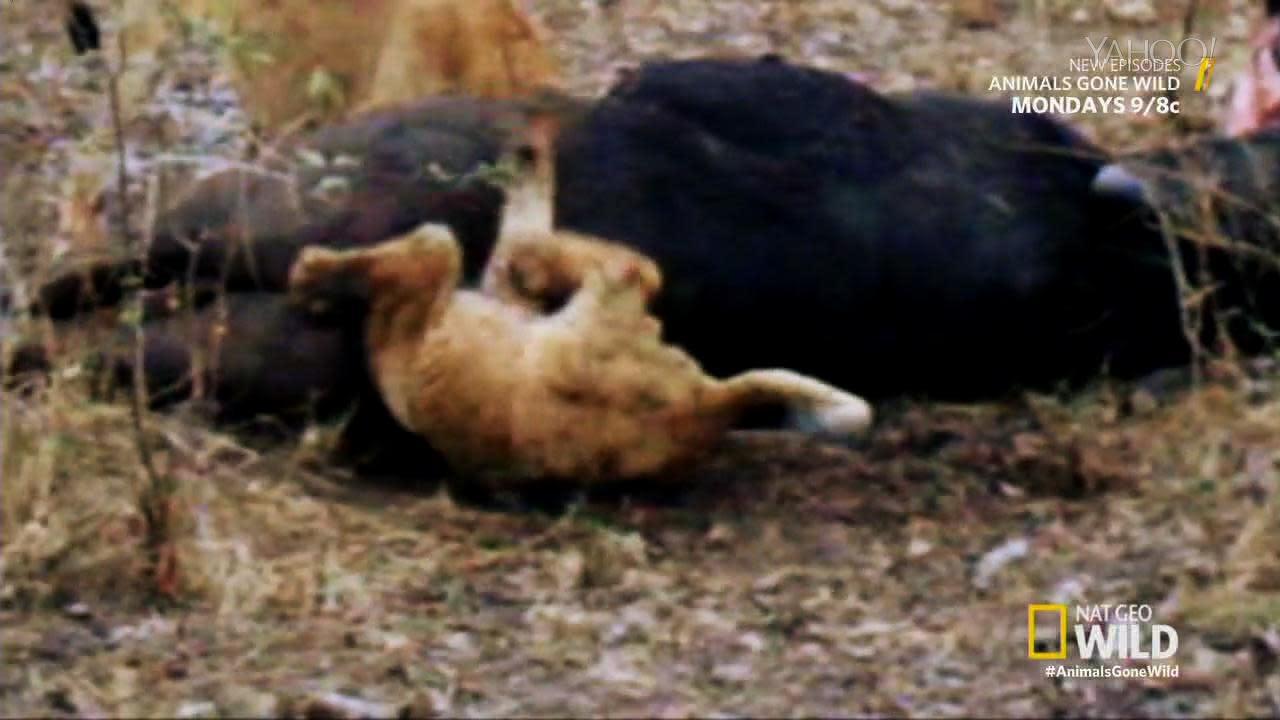 buffalo booty