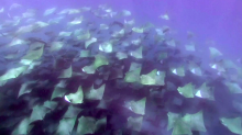 Watch: British swimmer captures incredible footage of migrating shoal of rays off the coast of Mexico
