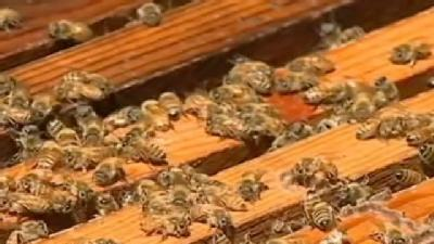 Researchers Study Disappearing Bees