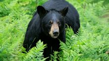Vacationing Minnesota Woman Killed In Rare Black Bear Attack In Canada