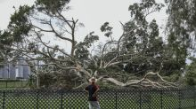 Urgent appeal for residents to help save Sha Tin banyan tree uprooted during Typhoon Manghkut