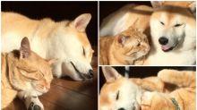【新片速報】日本超有愛貓狗組合 互常舔毛似夫妻