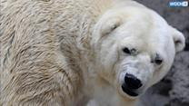 Mendoza Zoo Rejects Viral 'Free Arturo' Petitions, Polar Bear Staying In Argentina