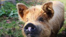 Cientistas criam porcos geneticamente modificados com 24% menos gordura