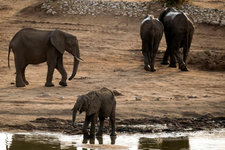 Threatened: Hundreds of elephants are to move home in the biggest wildlife transfer in Zimbabwe's history