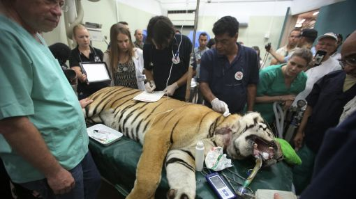 Laziz the tiger and friends leave Gaza for new life