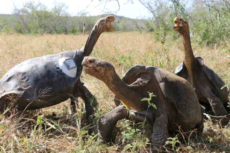 Endangered Galapagos tortoises photographed at Ecuador's Galapagos National Park (AFP Photo/-)