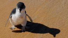 58 Australian fairy penguins slaughtered in suspected dog attack