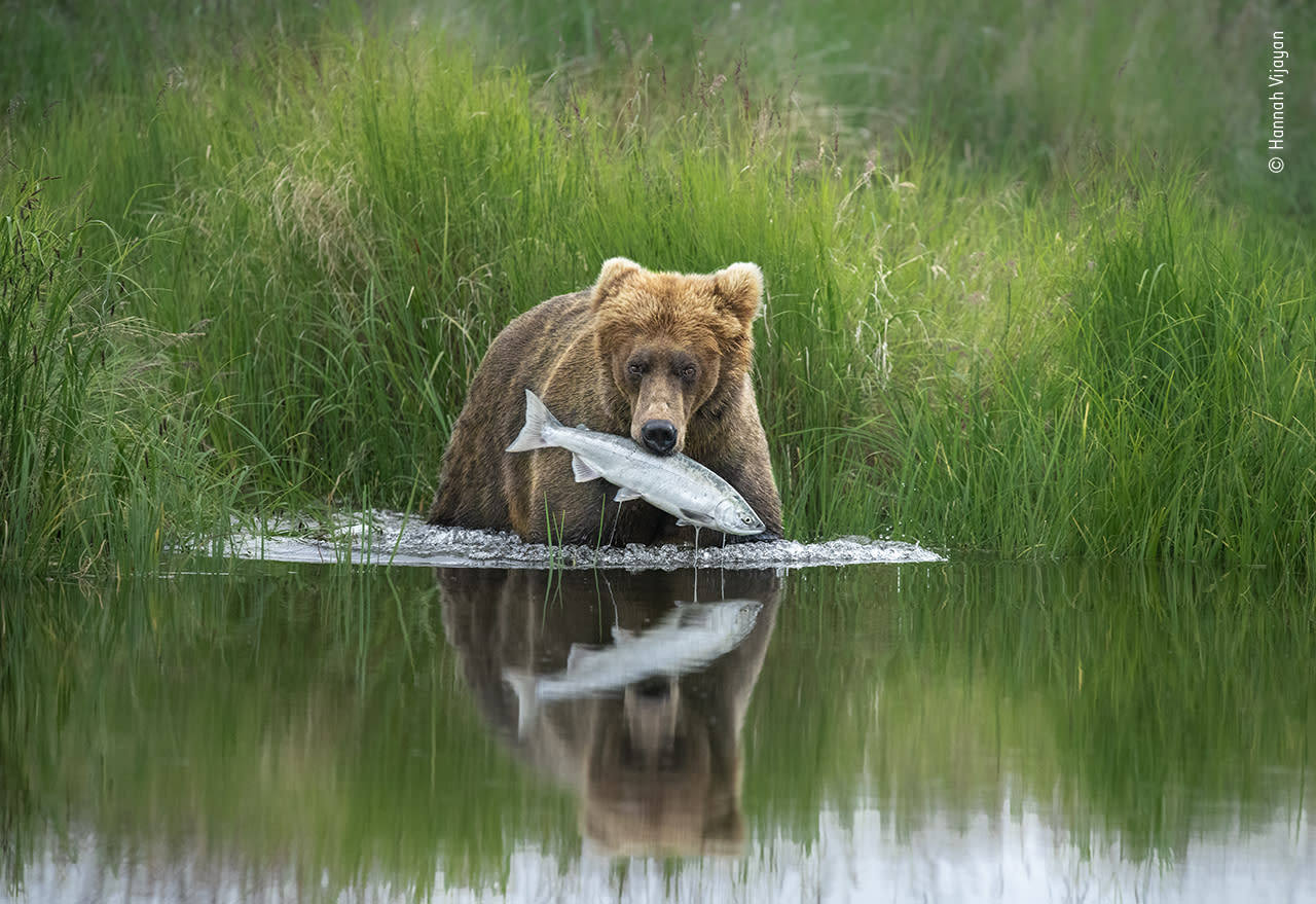 A brown bear pulls a salmon from the shallows of a river in Alaska's Katmai National Park. The huge park contains Pacific coastline, mountains, lakes, rivers and an estimated 2,200 brown bears.